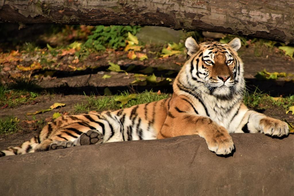 Tiger Sunning - Photo by Waldemar Brandt on Unsplash